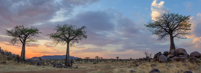 Acrylic Prints Baobab Sunset and Baobab (Adansonia digitata). Ruaha National Park. Tanzania