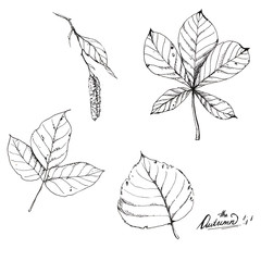 Hand drawn line art. Ink sketch of different autumn leaves isolated on the white background