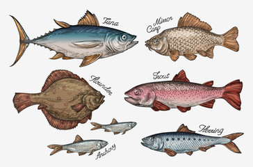 Seafood. Collection of fish such as tuna, trout, carp, flounder, anchovy, herring. Vector illustration
