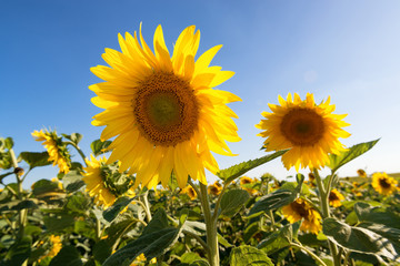 Sunflowers in sunny evening