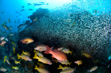 School of snappers (red snapper, yellow snapper, sea bass, black bass) and little fish swim around the pinnacle, richelieu rock, Similan National park, North Andaman sea, South of Thailand