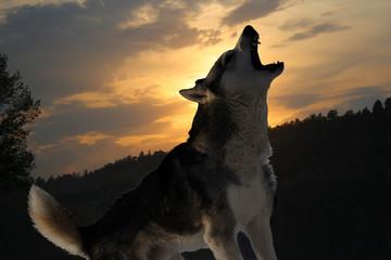 lone wolf howls at sunset