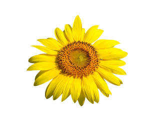 One sunflower species of Asian