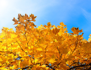 Tulip tree branch with golden autumn leaves. Fall and tuliptree on background of blue sky/Tulip tree branch with golden autumn leaves. Fall and tuliptree on background of blue sky