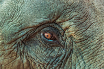 close up asia elephant eye