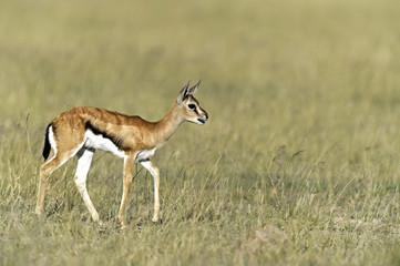 Fototapete - Grant Gazelle in the savannah