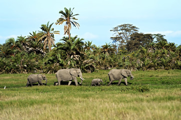 Fototapete - Elephants in the savannah