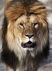 Fototapete - Leo the African savanna