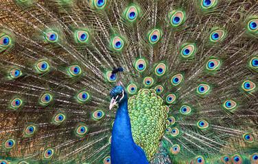 Peacock portrait yzyaschnoho