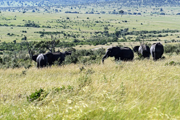 Wall Mural - Elephants in the savannah