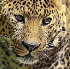 Fototapete - Leopard