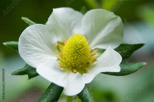 Fleur De Fraisier En Gros Plan Stock Photo And Royalty Free Images