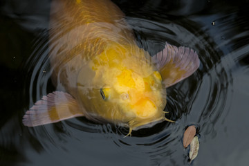 Close Up of Large Solitary Yellow Koi Fish with Whiskers floating in rippled dark water with leaves