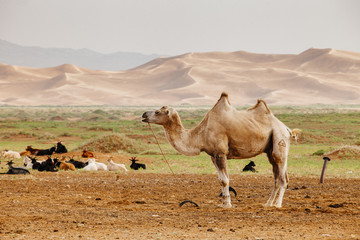 Dunes and Camel in the Gobi Desert Mongolia Landscape