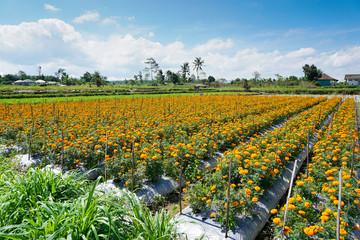 Gemitir flower garden in Denpasar, Bali, Indonesia. Orange marigold colour under cloudy sky. Marigold Tagetes erecta Balinese call this as Bunga Gemitir.