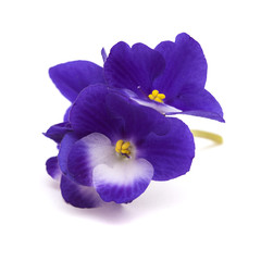 dark blue and white african violet
