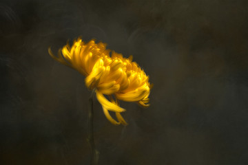Chrysanthemum flower, studio shot
