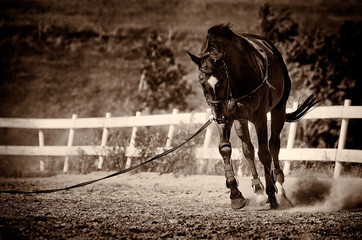 Thoroughbred race horse exercising, black and white