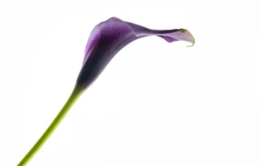 Purple araceae arum flower, studio shot