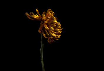 Chrysanthemum flower against black background