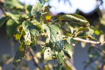 disease leaves plum