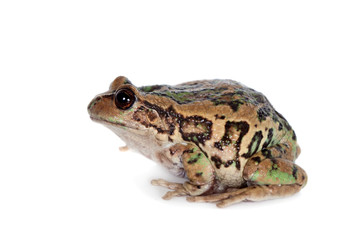 Riobamba marsupial frog on white