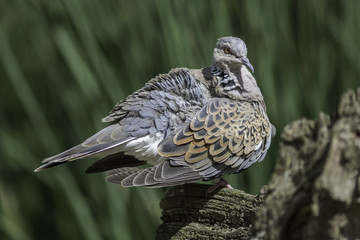Turtle dove bird with ruffled feathers