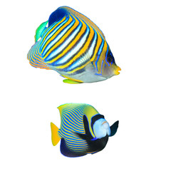 Tropical fish isolated: Regal and Emperor Angelfish white background