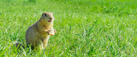 Gopher eating small piece of bread in the grass