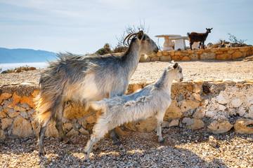 Domestic goat on Crete Island, Greece