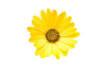 Yellow Osteospermum Flower Daisy Isolated