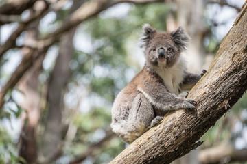 Koala wildlife in Oatway national park, Australia.