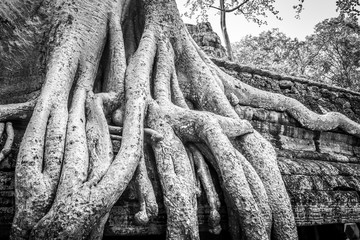 Massive Tree Roots at Ta Prohm Temple in Black and White