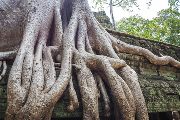 Massive Tree Roots at Ta Prohm Temple in Angkor, Cambodia