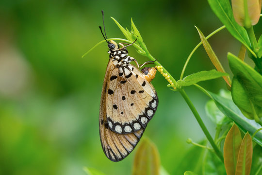 Acraea violae (Tawny Coster) laying eggs
