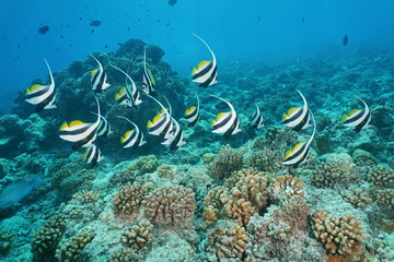 Tropical fish pennant coralfish, Heniochus acuminatus, underwater on the outer coral reef, atoll of Tikehau, south Pacific ocean, Tuamotu, French Polynesia