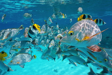 Shoal of tropical fish, mostly humpback red snapper with some butterflyfish and damselfish, underwater close to the surface and the camera, lagoon of Rangiroa, Pacific ocean, French Polynesia