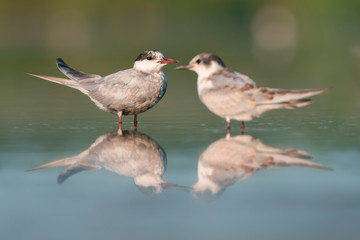 Whiskered terns (Chlidonias hybrida). Wildlife Ukraine