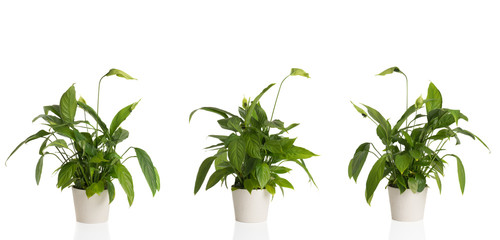 Peace Lily From Three Angles