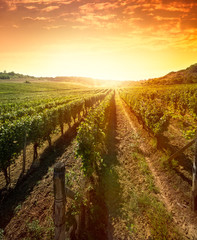 Rzędy winorośli na wschód