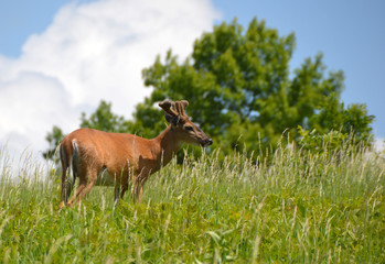 Deer standing in a deep green meadow