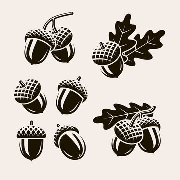 Acorns set. Vector