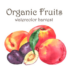 Hand-drawn watercolor illustration of fresh ripe fruits - orange peaches, plums and apricots. Watercolor harvest isolated on the white background
