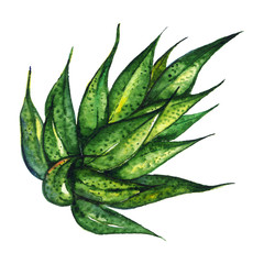Watercolor succulent agave aloe plant hand drawn isolated