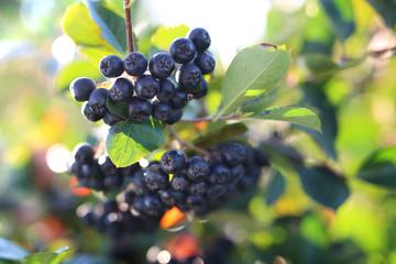 Fototapeta Aronia. Dojrzałe owoce aronii na gałązkach krzewu obraz