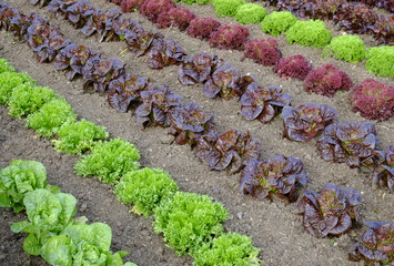 Rows of colourful lettuce salad leaf plants