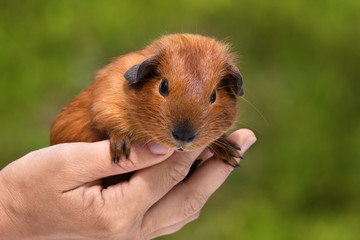hand holding young shorthair guinea pig