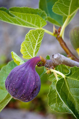 Fig growing on tree.  Close up texture and color detail. Vertical