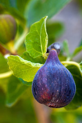 Purple fig hanging from a tree. Vertical close up