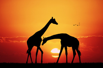 giraffe in African landscape at sunset
